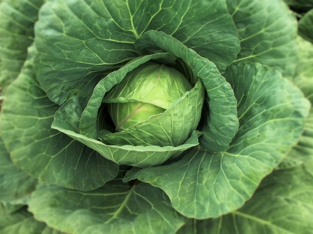 Cabbage Late Flat Dutch Heirloom Brassica Oleracea Var Capitata